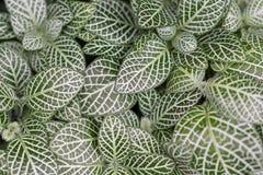 Coleus blumei. Leaves backgroud texture Stock Photography