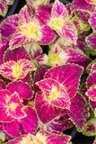 Coleus blumei. Leaves backgroud texture Stock Images
