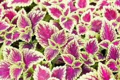 Coleus blumei. Leaves backgroud texture Stock Photo