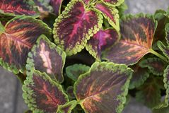 Coleus blumei leaves. In a garden Stock Photos