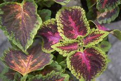 Coleus blumei leaves. In a garden Royalty Free Stock Image