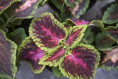 Coleus blumei leaves. In a garden Royalty Free Stock Photo