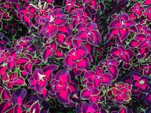 Coleus Blumei, ornamental plants background. Coleus Blumei, ornamental plants for decorated garden Stock Images