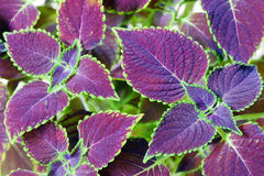 Coleus blumei Royalty Free Stock Images