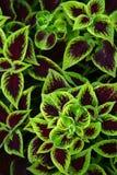 Coleus Blumei Stock Image