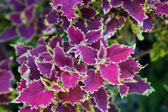 Coleus Blumei with tracery purple leaves in the tropical garden.  Royalty Free Stock Photography