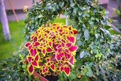 Coleus Blumei variegated flower stock image