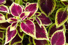 Coleus Blumei variegated leaves. Looking down on purple and green variegated leaves Royalty Free Stock Photos