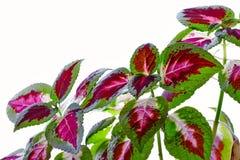 Coleus blumei z kwiatem zdjęcia royalty free