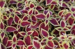 Coleus blumeii plant stock photo