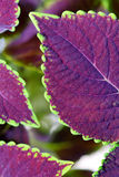 Coleus close up for background Royalty Free Stock Photos