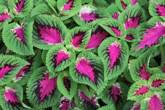 Coleus Cluster Stock Photo