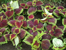 Coleus coloré Abigaïl de feuillage Photo stock