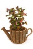 Coleus colorful foliage houseplant Royalty Free Stock Photography