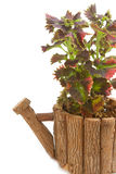 Coleus colorful foliage houseplant Stock Images