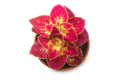 Coleus colorful foliage, houseplant Stock Image