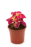 Coleus colorful foliage, houseplant Stock Photos