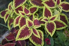 Coleus colorful foliage. Multicolored leaves of coleus plants Royalty Free Stock Image