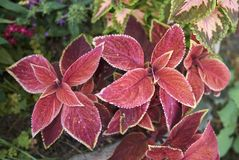 Coleus colorful foliage. Multicolored leaves of coleus plants Stock Photos