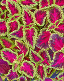 Coleus colorful foliage. Natural background Stock Photo