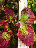 Coleus with colorful leaves Stock Photo