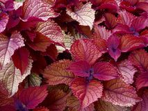 Coleus colorful plant Royalty Free Stock Photos
