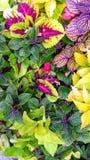 Coleus colorido Contraste verde-claro e roxo imagem de stock