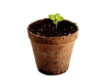 Coleus conservato in vaso Fotografia Stock
