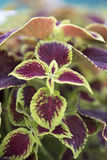 Coleus - Crimson Gold Stock Images