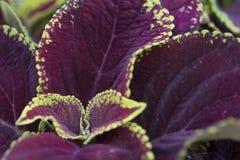 Coleus - Crimson Gold Royalty Free Stock Images