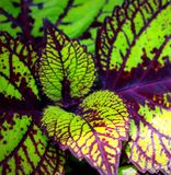 Coleus cultivar Royalty Free Stock Photography