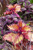 Coleus de fantaisie Photo libre de droits