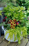 Coleus et Jenny Planter de rampement d'or photographie stock libre de droits