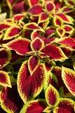 Coleus flower Royalty Free Stock Photography