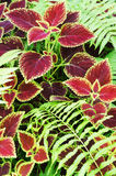 Coleus flower Stock Photo