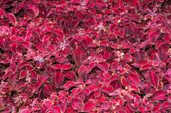 Coleus flower in autumn Royalty Free Stock Images