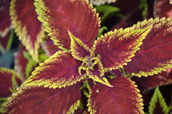 Coleus flower close up. Stock Photos