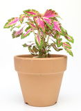 Coleus in a flowerpot Royalty Free Stock Photo