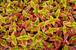 Coleus foliage plant Royalty Free Stock Photo