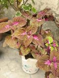 Most beautiful Coleus plants. Coleus is a former genus of flowering plants in the family Lamiaceae. In recent classifications, the genus is no longer recognized royalty free stock photos
