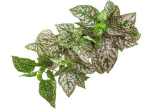 Coleus having pink variegated foliage Royalty Free Stock Photography