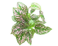 Coleus having pink variegated foliage Stock Photo