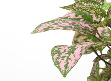 Coleus having pink variegated foliage Stock Photography
