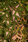 Coleus in a home garden Stock Photo