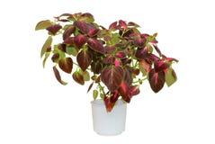 Coleus. Houseplant in a pot Royalty Free Stock Photos
