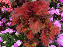 Coleus Indian Summer, Solenostemon hybrida 'Indian Summer' Royalty Free Stock Images