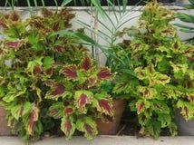Coleus Kong красный serrated листья которые красны в центре переводя к бургундской законцовке с зелеными краями стоковая фотография