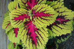 Coleus Kong Red Kakegawa CE14, Solenostemon hybrid Royalty Free Stock Images