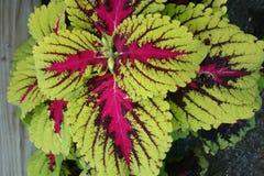 Coleus Kong Red Kakegawa CE14, Solenostemon hybrid Royalty Free Stock Images