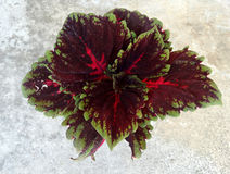 Coleus Kong Red Kakegawa CE12, Solenostemon hybridus Stock Photos